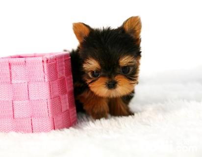 约克夏幼犬怎么养