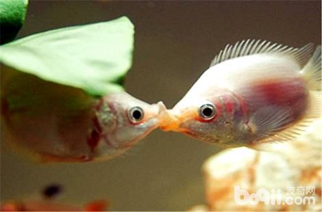 接吻鱼好养吗?亲嘴鱼好养吗?