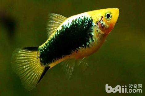 月光鱼什么状态下要生小鱼了?