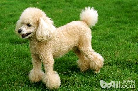 狗狗是可以吃洋葱的吗?