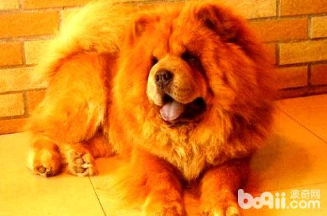 怎么训练松狮犬在指定地方大小便?