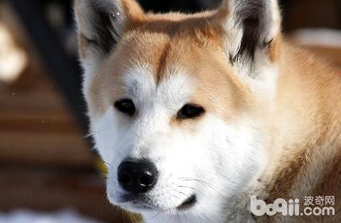 秋田犬眼睛上有红色的泪痕是正常的吗?