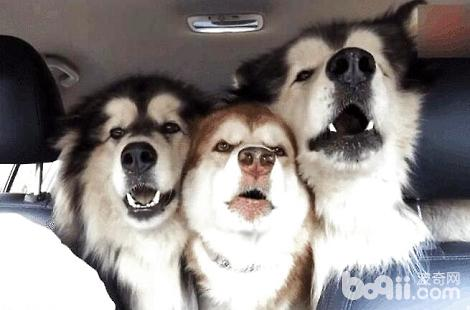 阿拉斯加犬聪明吗?智商怎么样?