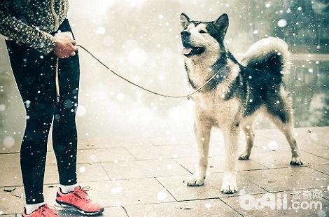 阿拉斯加遛狗需要栓狗链吗?