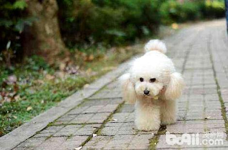 贵宾犬消化不良是什么原因?