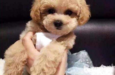 泰迪犬吃多了怎么办?每顿应该吃多少?