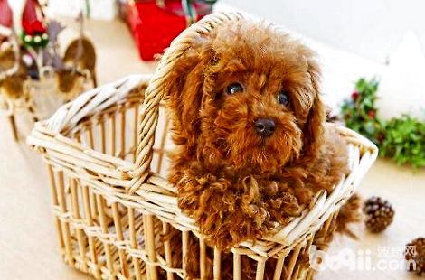泰迪犬怎样能健康成长?日常需要注意什么?