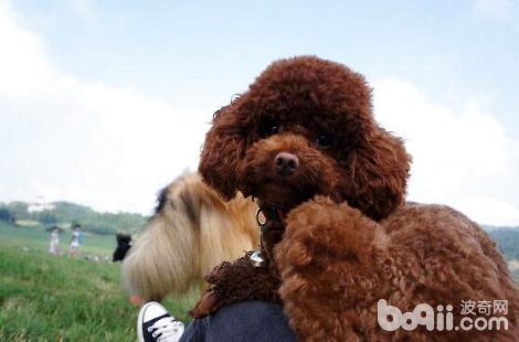 怀孕中的泰迪犬能吃营养膏吗?