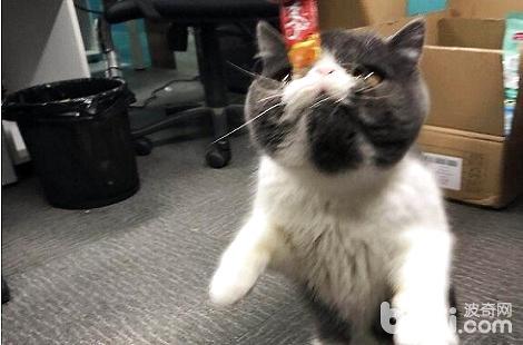 猫咪眼睛有脓性眼屎是什么问题?