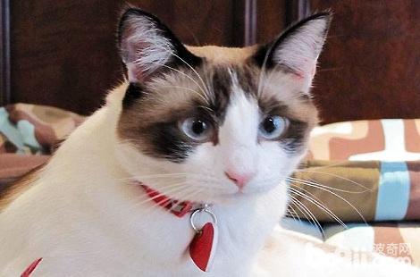 猫咪得过猫鼻支就要终身被隔离吗?