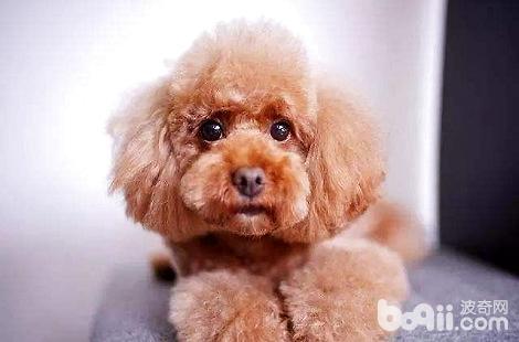 泰迪犬一直吃不胖是不是身体有问题?