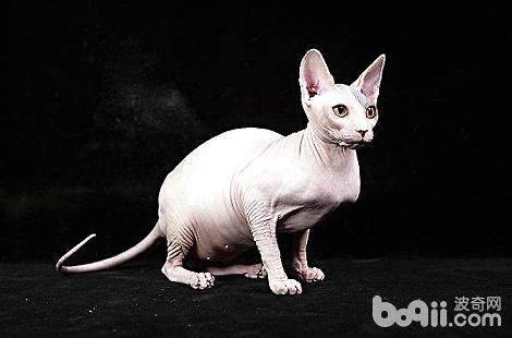 无毛猫眼睛被眼屎糊住了,是结膜炎吗?