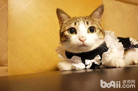瓜皮猫是什么品种的猫?