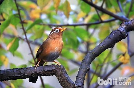 怎么能挑到好的画眉鸟?