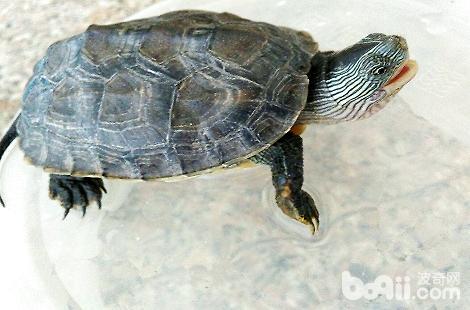 珍珠龟怎么饲养?花龟怎么喂养?
