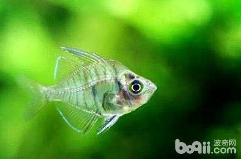 玻璃拉拉鱼该怎么饲养?