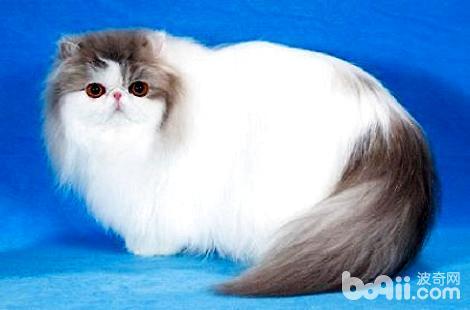 波斯猫比较凶咬人该怎么办?