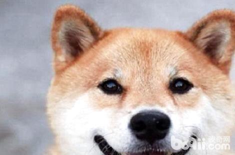 为什么我家的柴犬不会笑?