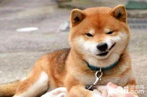 柴犬多大才能教会它笑?柴犬微笑是开心吗?