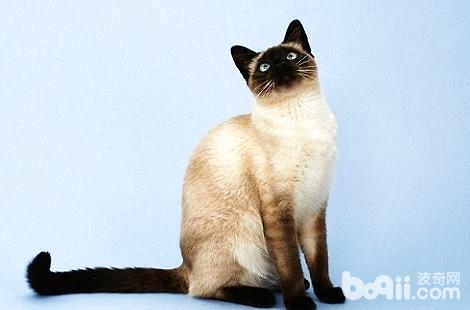 重点色的布偶猫和暹罗猫是可以交配的吗?