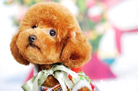 贵宾犬的鼻头为什么颜色变浅了?