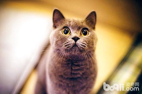 英国短毛猫三个月可以吃什么?