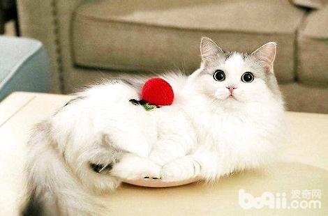 布偶猫成年之后最多能长多大?