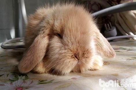 家里养的兔子眼睛周围掉毛是什么原因?