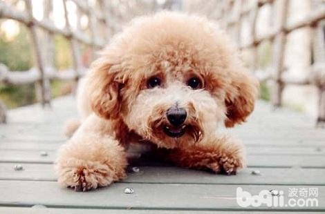 泰迪犬不听话要怎么训练?