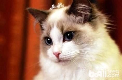 布偶猫拉肚子是因为着凉了吗?