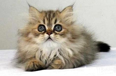 金吉拉和布偶猫哪个更容易饲养?