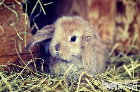 养垂耳兔需要注意哪些方面?