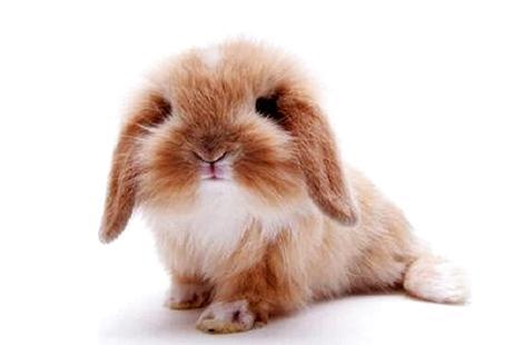 新手养垂耳兔,该怎么照顾?