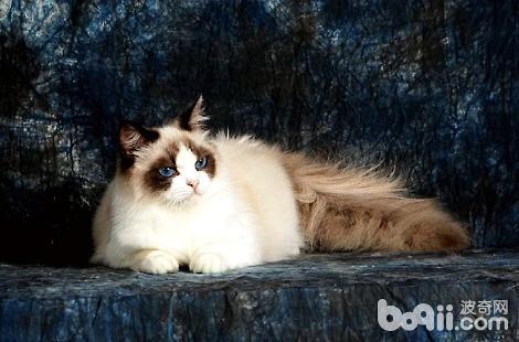 布偶猫到底有没有把你当主人?