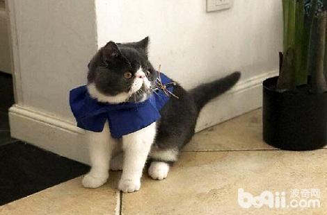 异国短毛猫真的会生气吗?