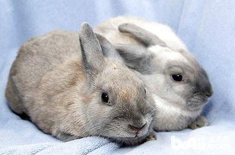 兔子在家需要怎么饲养?