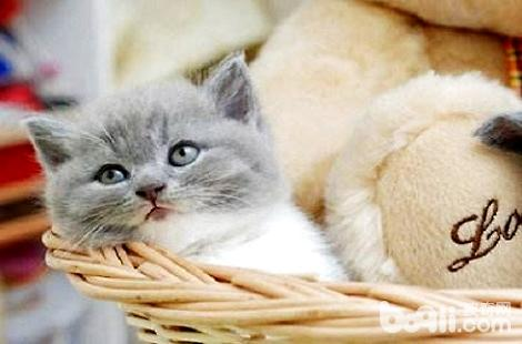 英国短毛猫可以去什么渠道购买?-轻博客