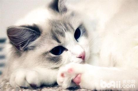 布偶猫的耳朵是白色是不是品相很好?