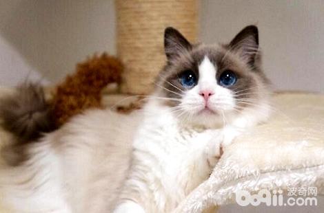 布偶猫的毛色什么时候才能稳定?