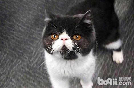 加菲猫爱啃咬东西,要怎么纠正?