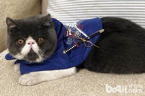 加菲猫的肚子很大是正常的吗?