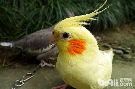 鸡尾鹦鹉喜欢咬东西怎么办?