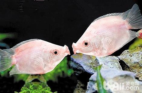 新手选择什么品种的热带鱼好养?