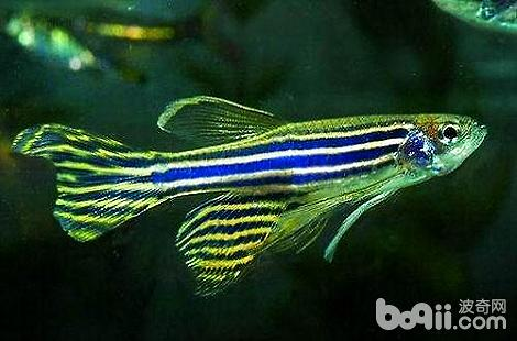 推荐几种好看的热带鱼养。