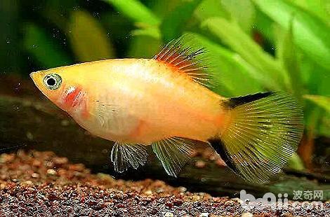 热带鱼掉鳞是什么原因导致的?
