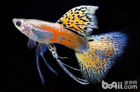 哪些热带鱼是可以放在一起混养的?