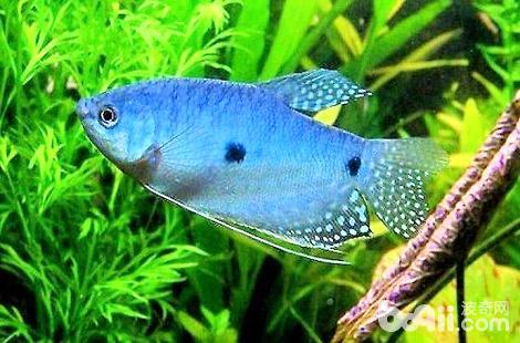 哪些熱帶魚是可以放在一起混養的?