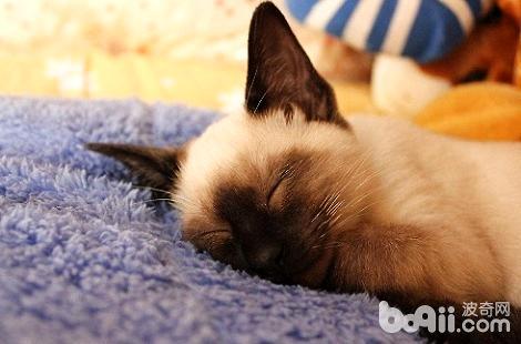 暹罗猫夜里睡觉的习惯怎么养成的?