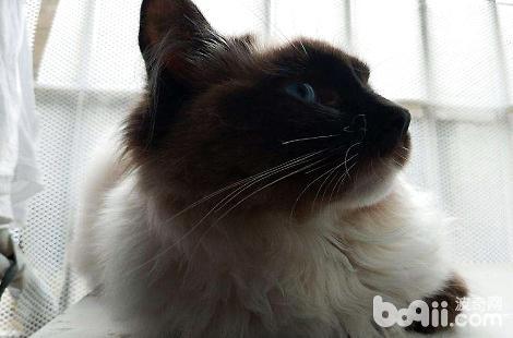 听说布偶猫是人工培育的品种?