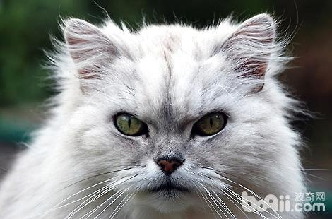 金吉拉幼猫饲养要注意什么?